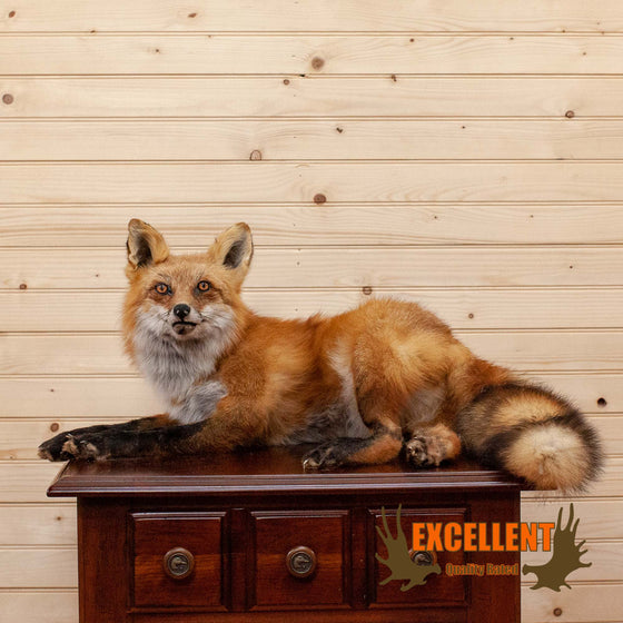 red fox taxidermy mount