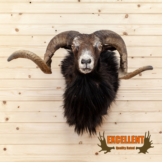 corsican mouflon sheep ram taxidermy shoulder mount for sale