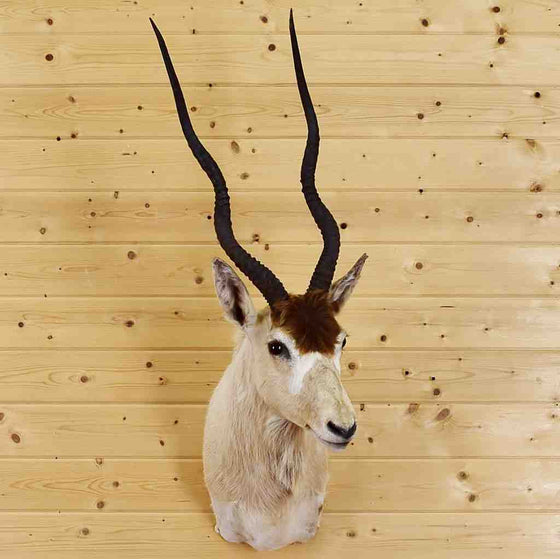 Addax Antelope Taxidermy Mount for Sale