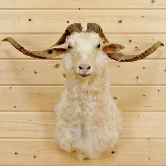 Angora Goat Head Taxidermy Mounts
