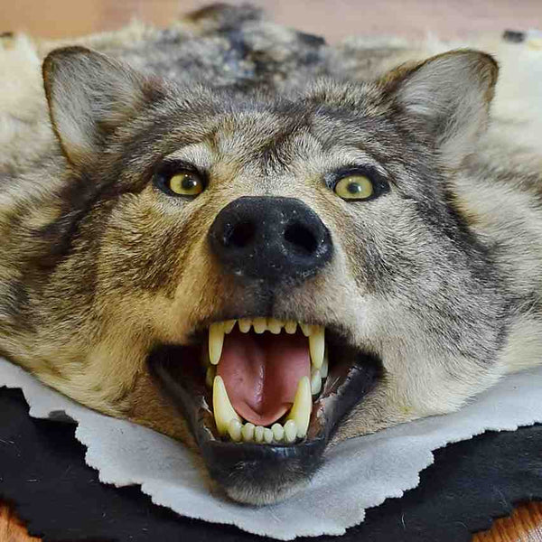 Gray Wolf Hide Rug Safariworks Taxidermy