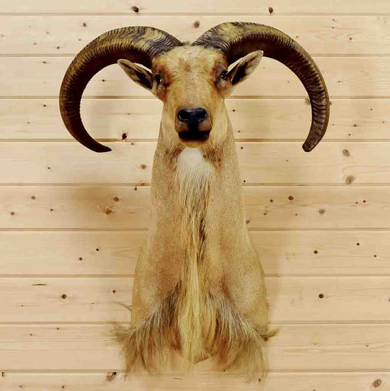 Aoudad Head for Sale