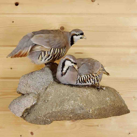 Chukar Pair Taxidermy for Sale