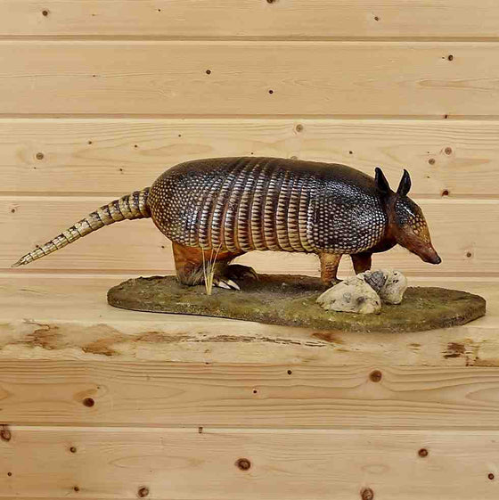 Armadillo Full Body Taxidermy Mount Sale