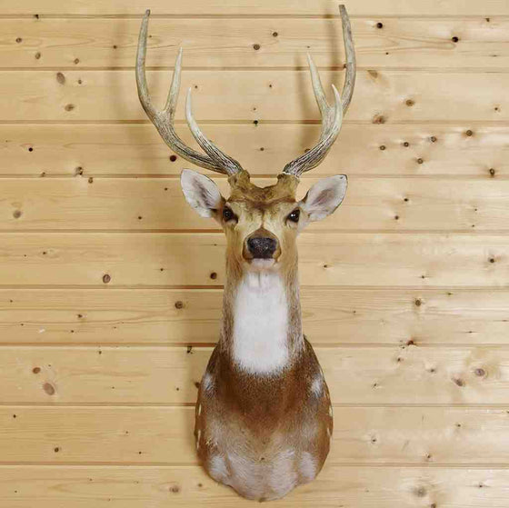 Axis Deer Taxidermy for Sale