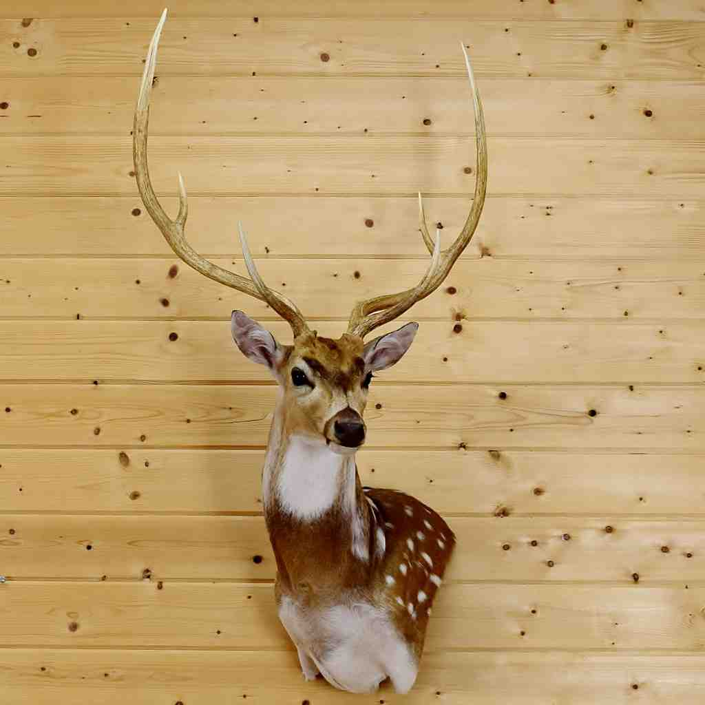 Axis Deer Wall Pedestal Taxidermy Mount - SW5331 for sale at ...
