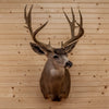 "Premier 193"" 6X7 Point Mule Deer Shoulder Mount BK7003"