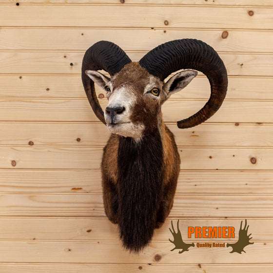 Premier Mouflon Sheep Ram Taxidermy Mount BK7005