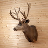 "Premier 200"" 6X7 Point Mule Deer Shoulder Mount BK7006"