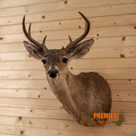 3X4 coues deer taxidermy shoulder mount for sale