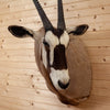 Excellent African Gemsbok Taxidermy Shoulder Mount BK7008