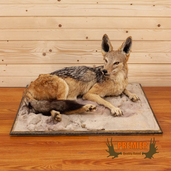 african black backed jackal full body taxidermy mount for sale