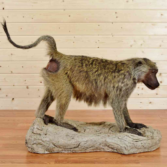 Olive Baboon Taxidermy Floor Display