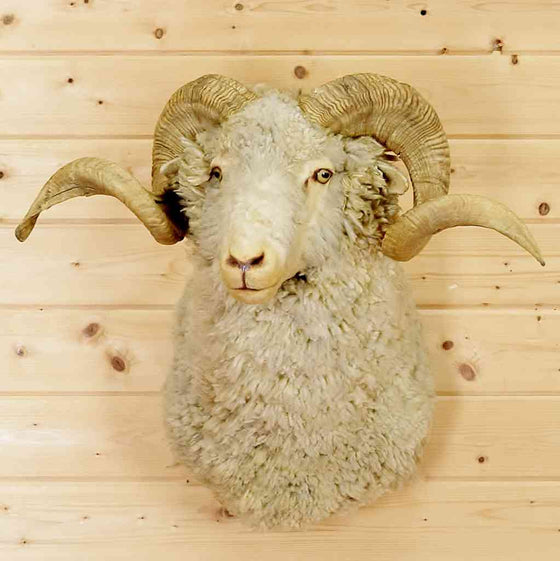 Barbarossa Sheep Taxidermy