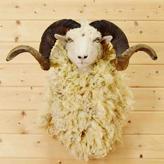 Barbarossa Sheep Taxidermy Mounts for Sale