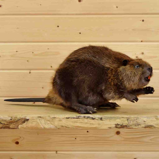 Beaver Taxidermy Mount
