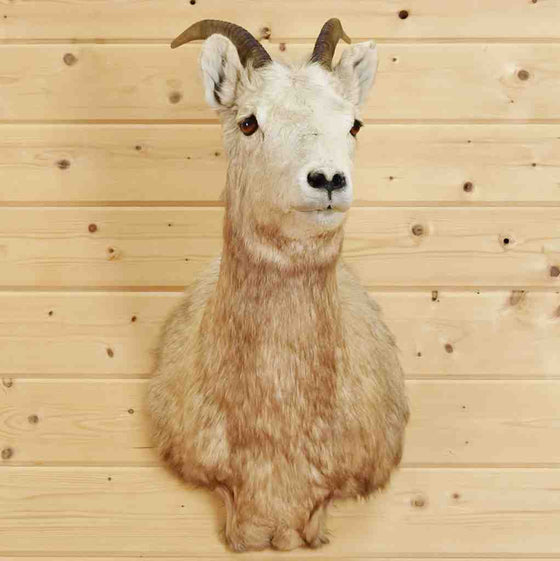 Big Horn Sheep Taxidermy for Sale