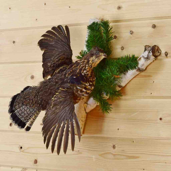 Ruffed Grouse Taxidermy for Sale