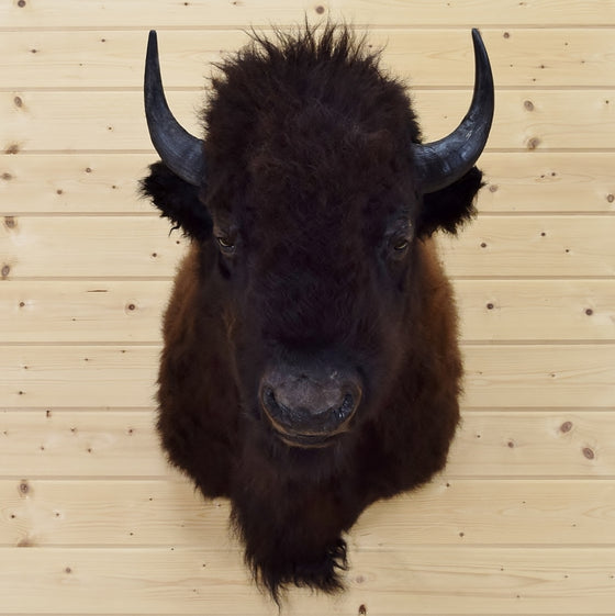 Taxidermied Bison Head for Sale