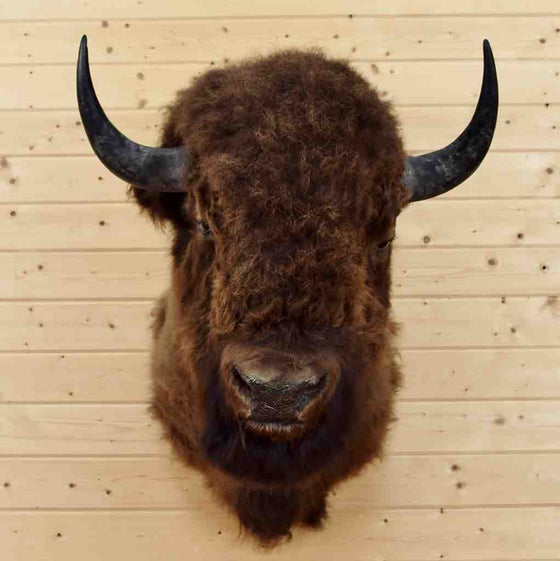 Bison Taxidermy Mount