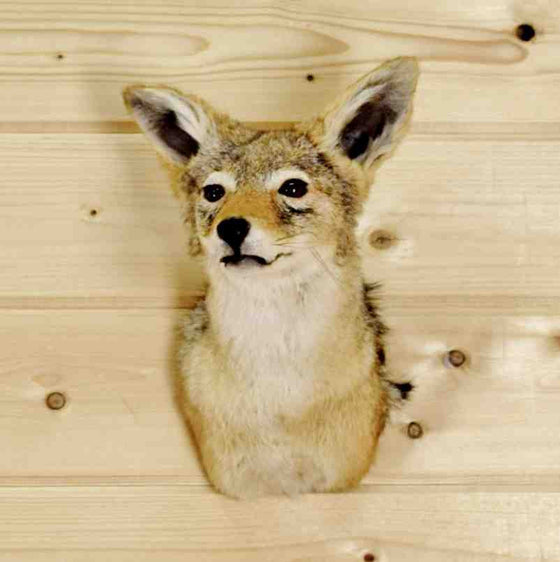 Black-backed Jackal Taxidermy Mount - SW8893