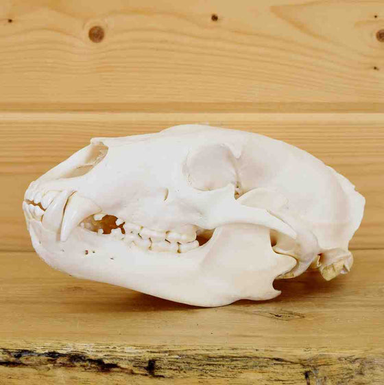 Black Bear Skulls for Sale