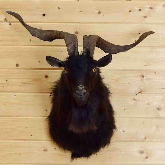 Catalina Goat Taxidermy Mount