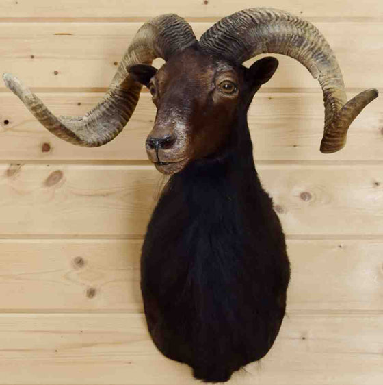 Black Hawaiian Ram Taxidermy Mount for Sale