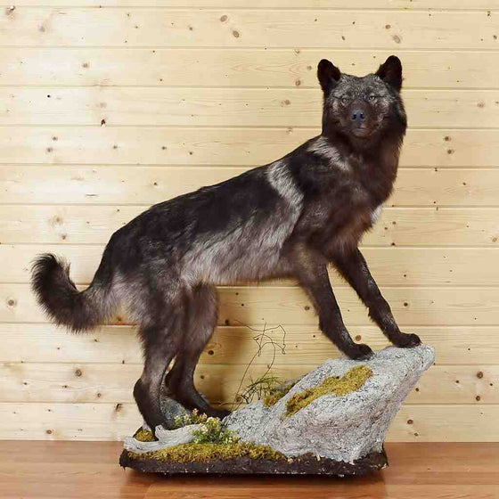 Black Wolf Taxidermy Mount