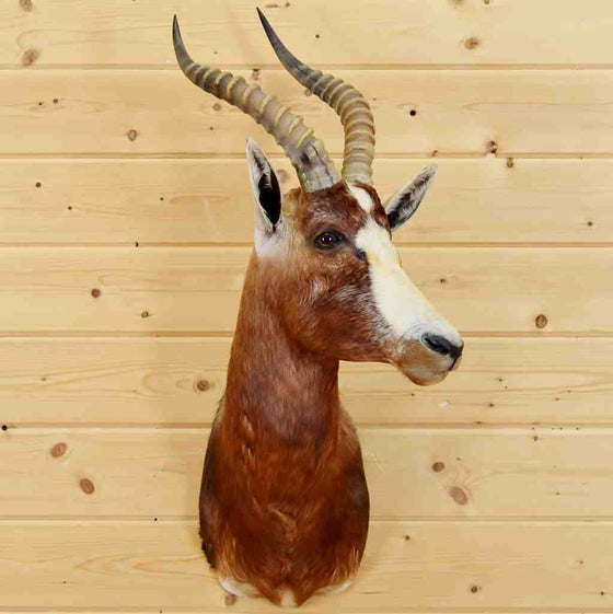 Blesbok Taxidermy Mount