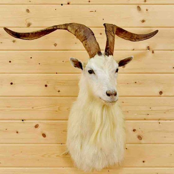 Blonde Catalina Goat Head for Sale