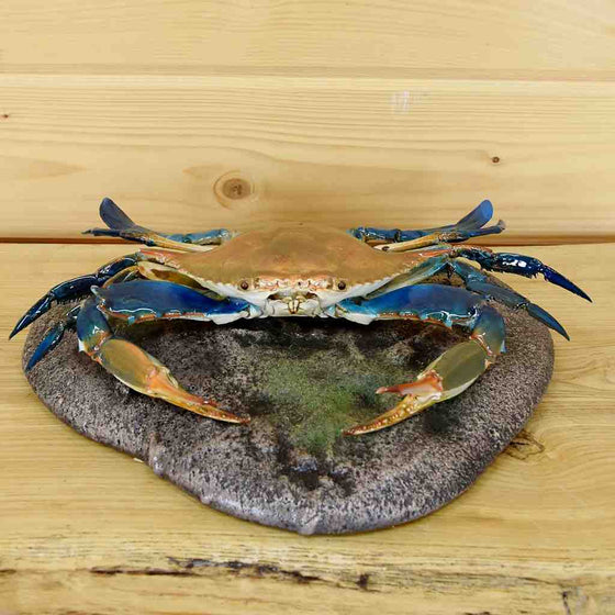 Blue Crab Taxidermy Mount for Sale