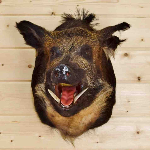 Wild Boar Game Mount For Sale At Safariworks Taxidermy