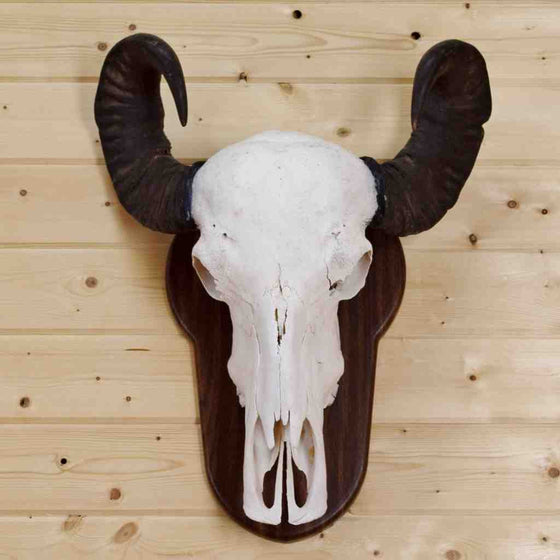 Water Buffalo Euro Skull Mount