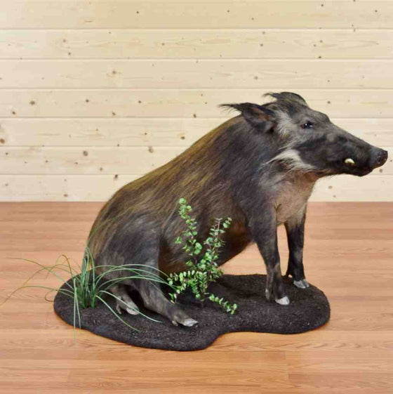 African Bushpig Life-Size Taxidermy Mount