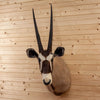 African Gemsbok Taxidermy Shoulder Mount CS6013
