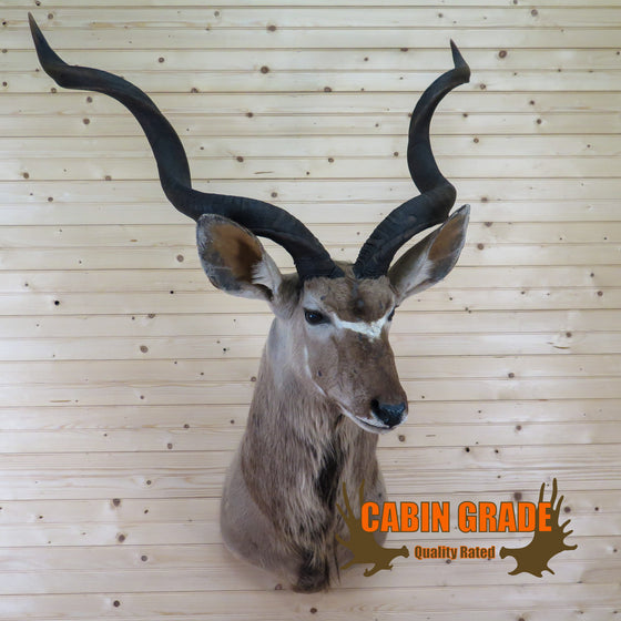 Cabin Grade African Kudu Taxidermy Shoulder Mount CS6025