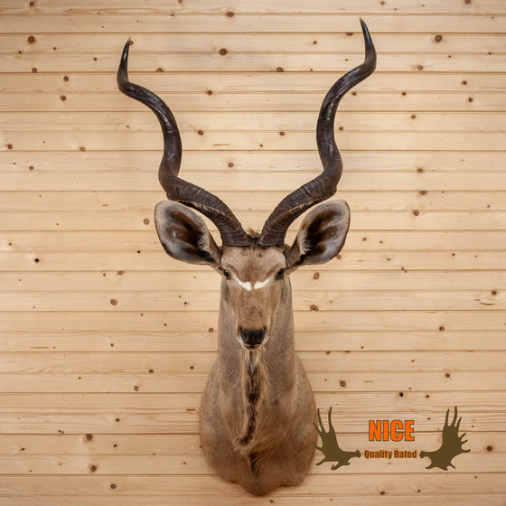 Nice African Kudu Taxidermy Shoulder Mount CS6026
