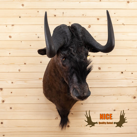 african black wildebeest taxidermy shoulder mount for sale