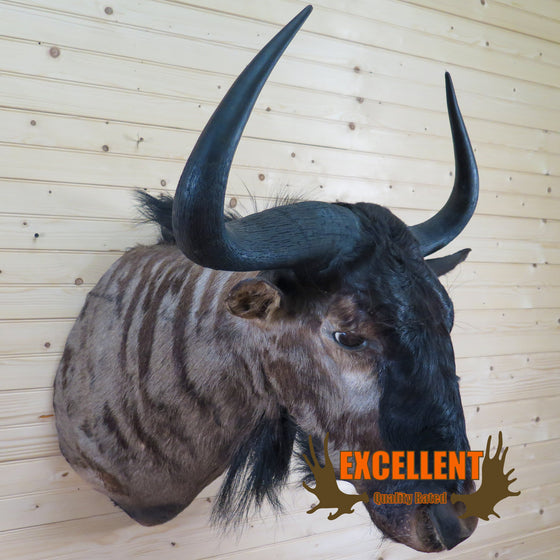 Excellent African Blue Wildebeest Taxidermy Shoulder Mount CS6045