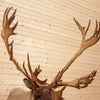 Excellent Barren Ground Caribou Taxidermy Shoulder Mount CS6055