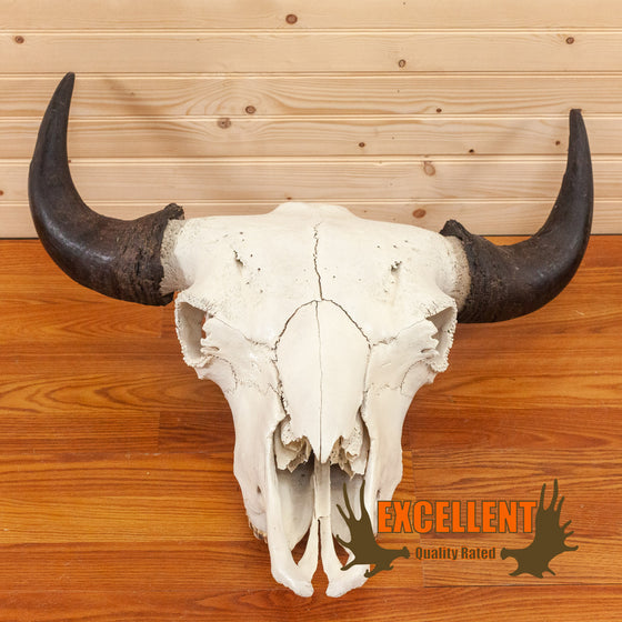 bison skull for sale