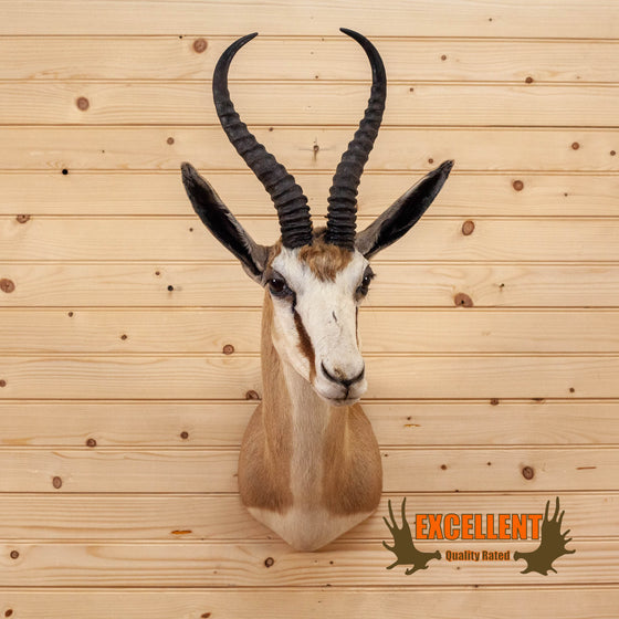 african springbok antelope taxidermy shoulder mount for sale