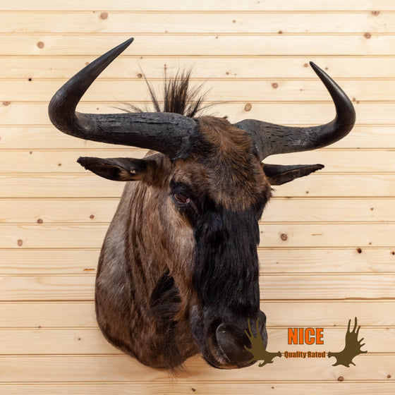 african blue wildebeest taxidermy shoulder mount for sale
