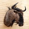 Nice African Blue Wildebeest Taxidermy Shoulder Mount CS6079