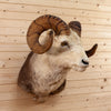 Vintage Stone Sheep Taxidermy Mount CS6081