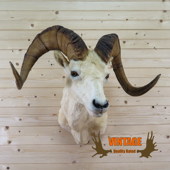 dall sheep taxidermy shoulder mount for sale
