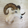 Vintage Dall Sheep Taxidermy Shoulder Mount CS6082
