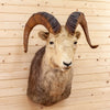 Vintage Stone Sheep Taxidermy Mount CS6083