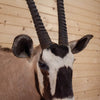 African Gemsbok Taxidermy Shoulder Mount CS6084